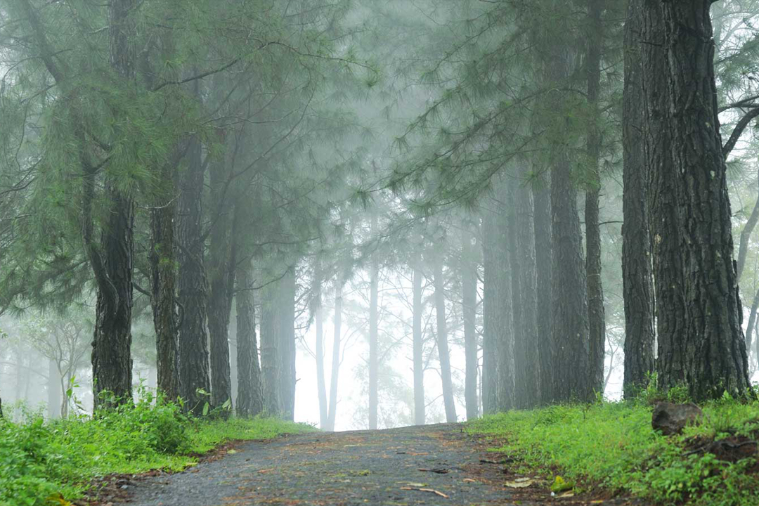 Pine Forest. Vagamon